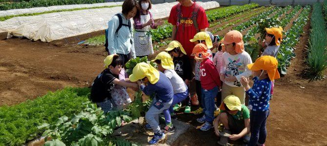 保育園の収穫体験 カブ・大根