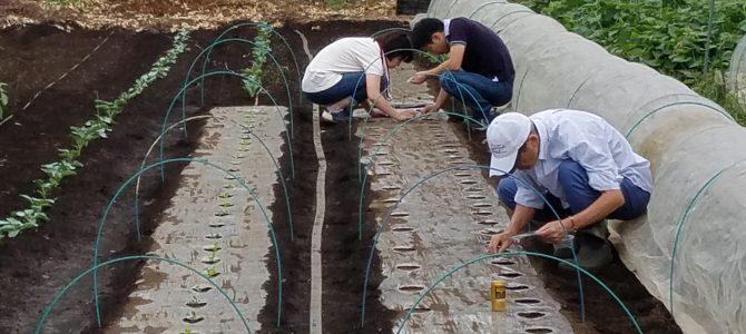 野菜作り作業 大根の種まき・ブロッコリー白菜の苗植え