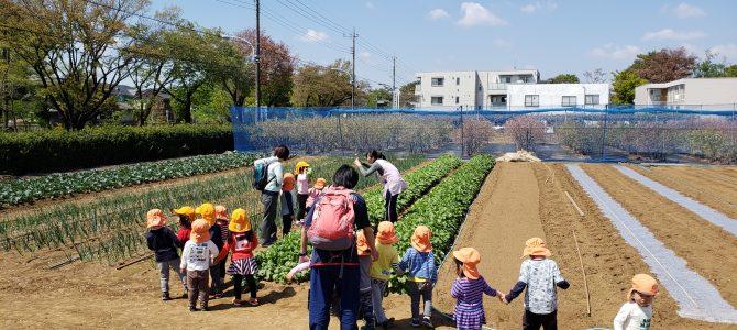 保育園の収穫体験 かぶ