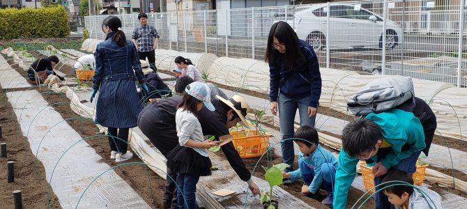 貸農園作業 ナス・ピーマン類の苗植え