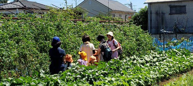 保育園の収穫体験 ミニトマト