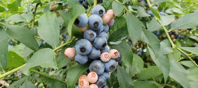 保育園の収穫体験 ブルーベリー