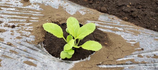 【貸し農園作業】白菜、キャベツ、ブロッコリーの苗植え、大根の種まき